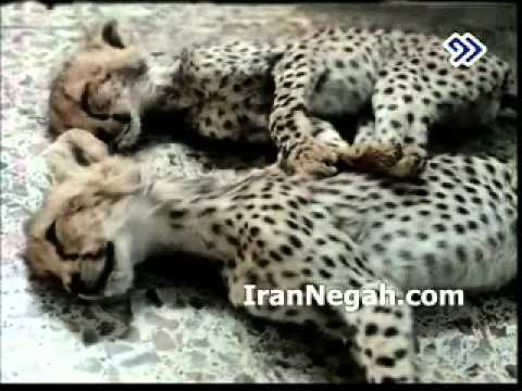 Iranian cheetahs really at danger