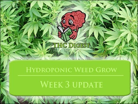 Hydro Bubbleponics Weed Grow   Week 3