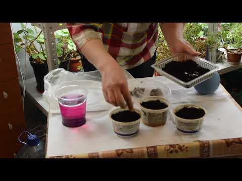 Как сеять перец на рассаду 998