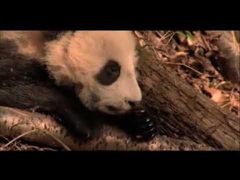 National Geographic Podcast: Panda-monium