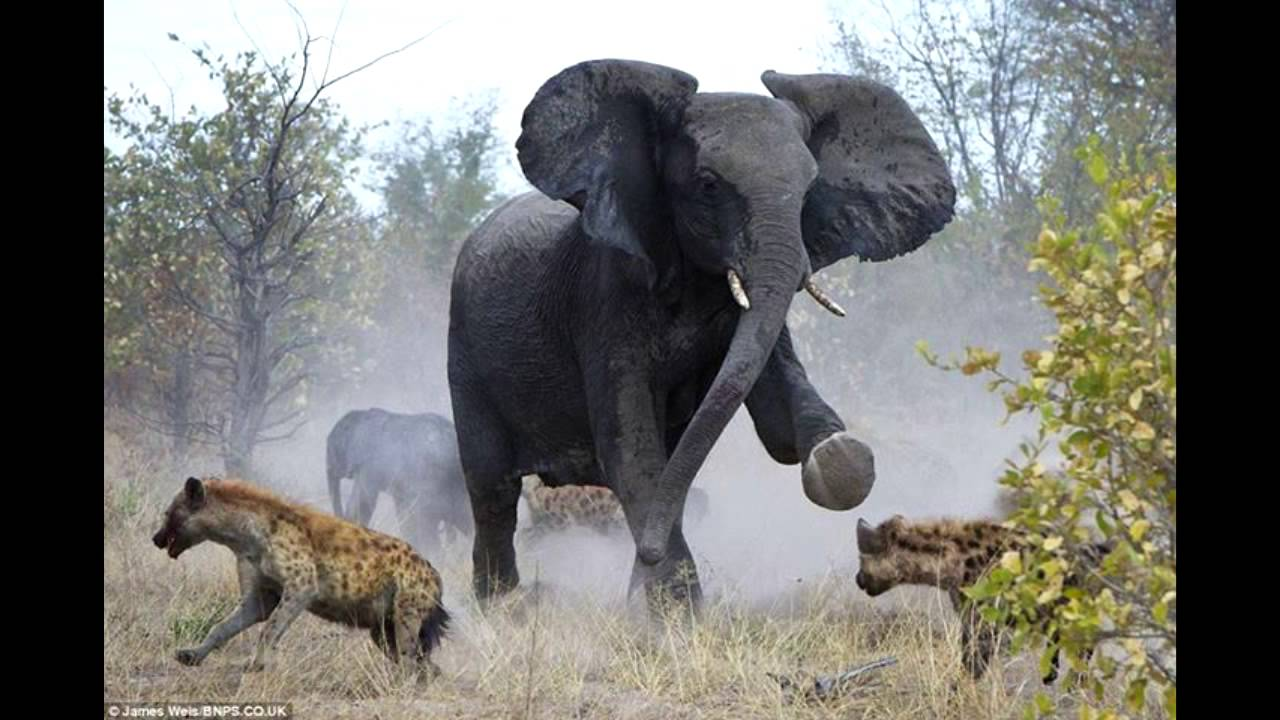 lion fight with elephant