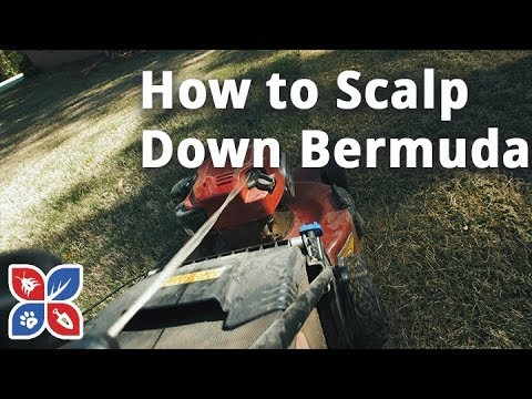 How to Scalp Down Bermuda Grass - Lawn Care Tips | DoMyOwn.com