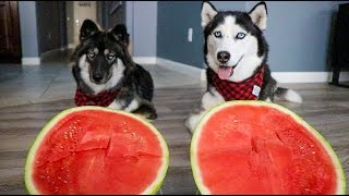 Watermelon Eating Contest With My Huskies!