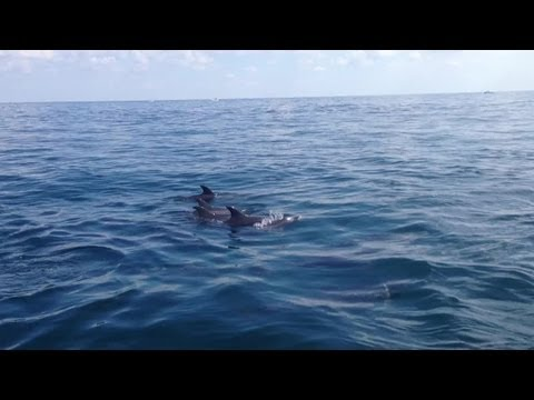YouReporter: Dolphins swimming off of the Palm Beach Inlet