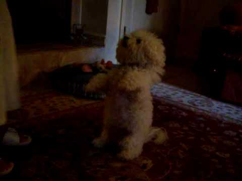 Belle the Bichon Frise Does Tricks for Cheese Video