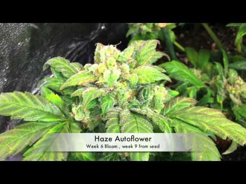Autoflower Marijuana under LED grow lights (3 Autoflower Cannabis. under LED grow lights)