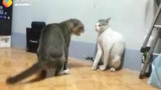Cat fight danger sound