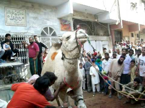 Camel being slaughtered for EID in Karachi