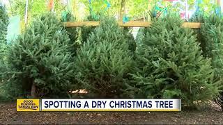 Keys to spotting a not-so-fresh Christmas tree verse a fresh one
