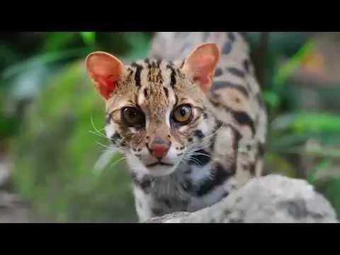 6 Kucing Asli Indonesia Ini Terancam Punah