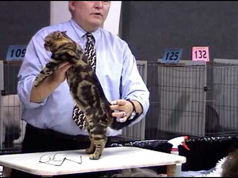 Champion American Shorthair Cat Video
