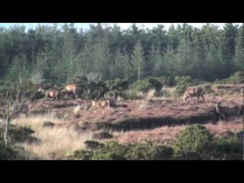 Red deer hunting in Ireland