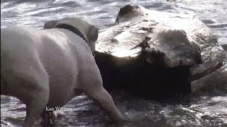 Pit Bull Pulls HUGE log out of the river  funny dogs
