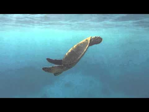 Mauna Lani Turtle Video