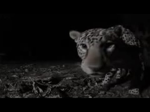 Brilliant nocturnal images of the beautiful wild cats from animal show