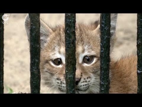 Кошачья драма. В Новосибирском зоопарке домашняя кошка вскармливает рысёнка