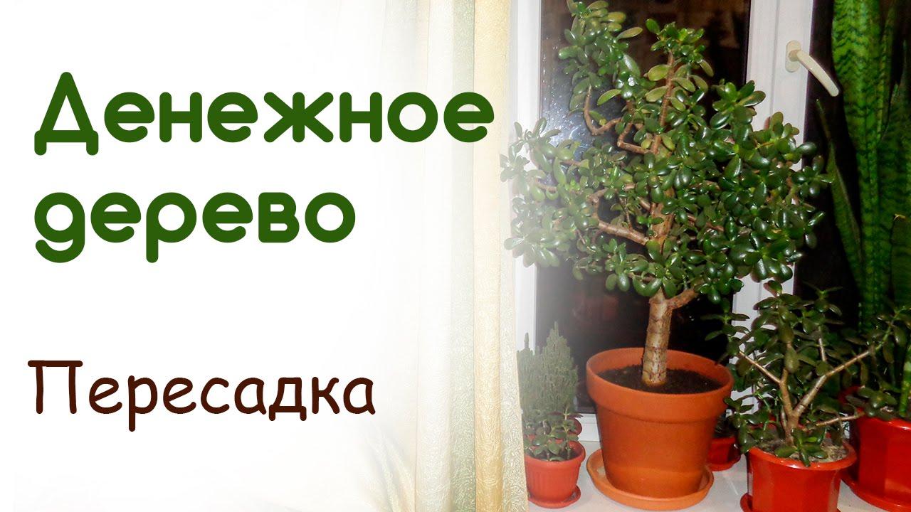 Когда нужно сажать денежное дерево 8