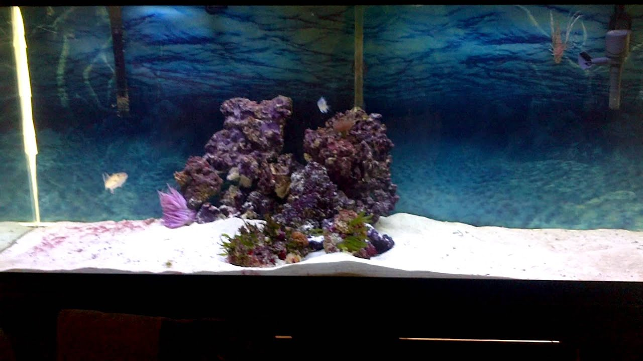 My 120g great barracuda lionfish and snowflake eel for Eel fish tank