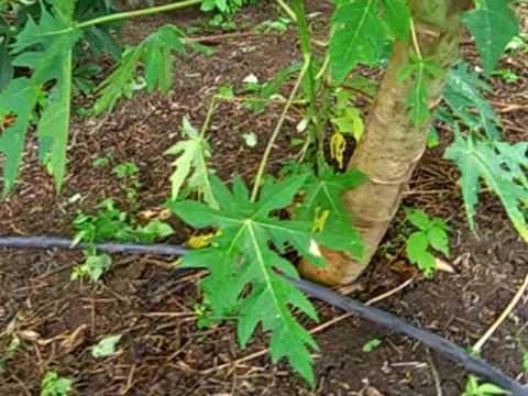 Instalando goteo en la papaya avi youtube - Tuberias de riego por goteo ...