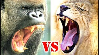 Gorilla Vs Lion Who Would Win?