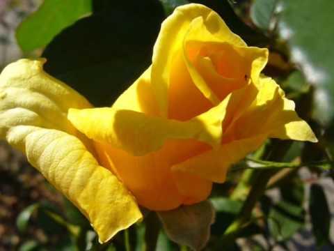 Illés együttes - Sárga Rózsa
