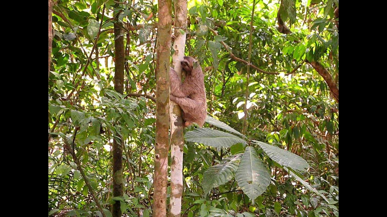 Three-toed Sloth climbing up tree - YouTube
