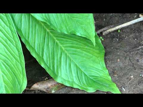 Life Saving Medicinal Plants from Pankaj Oudhia's Medicinal Plant Database-8412