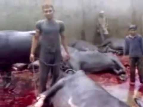 Sudesh Kumar Foundation Appeal to impose Ban on all Slaughterhouses...