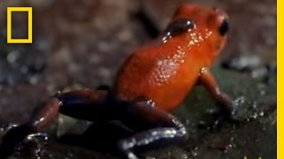 Strawberry Poison Dart Frog | National Geographic