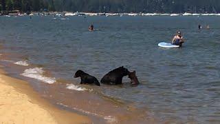 Bears Swimming in Lake