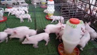 Instalaciones Porcinas Destete