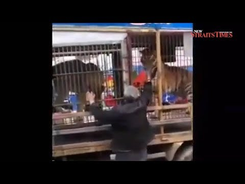 Chinese grandfather loses two fingers feeding paper money to caged tiger
