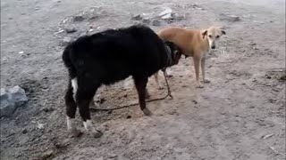 Baby Cow Drinking Milk of a DOG-Most Popular video