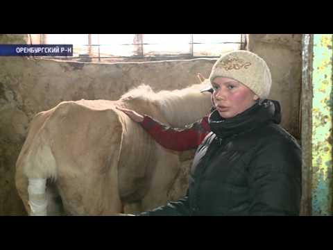В Оренбурге молодую лошадь довели до изнеможения (Скандал из-за Фунтика)