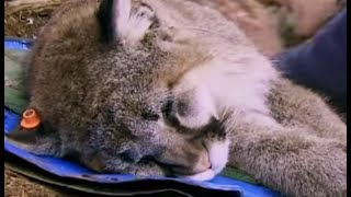 Taking DNA from a Mountain Lion - Vets in the Wild West - BBC
