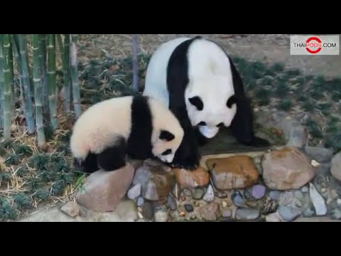 Lin Ping, Thailand's Baby Panda Plays With Mother Lin Hui at Chaingmai Zoo.