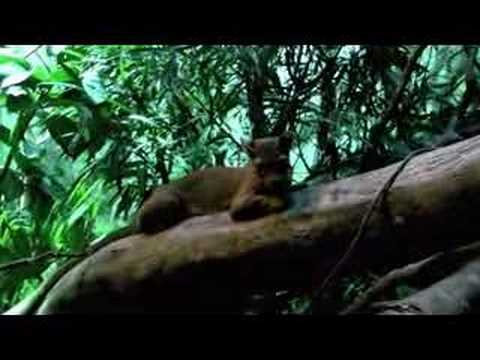 Madagascar's Strange Predator -- the Fossa