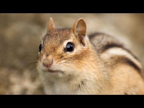 Chipmunk's Plan For Future Better Crafted Than That Of 8 Out Of 10 Americans