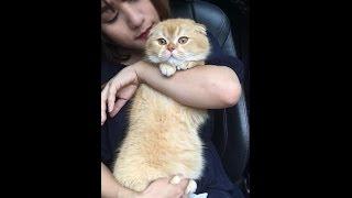 Mèo tai cụp Mon đi tiêm - Thánh nhát gan ::) - Mật Pet Family