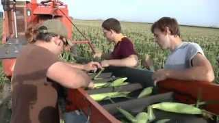 Harvesting Sweet Corn