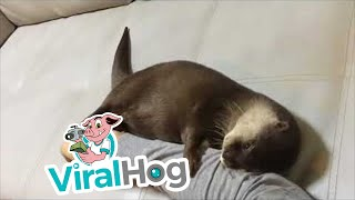 There's an Otter on My Arm || ViralHog