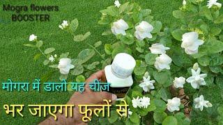 मोगरा में अगर यह चीज डाल दी फूलों सेे लद जाएगा पौधा