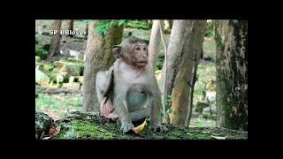 Popeye - Blind Monkey Give Birth To Baby