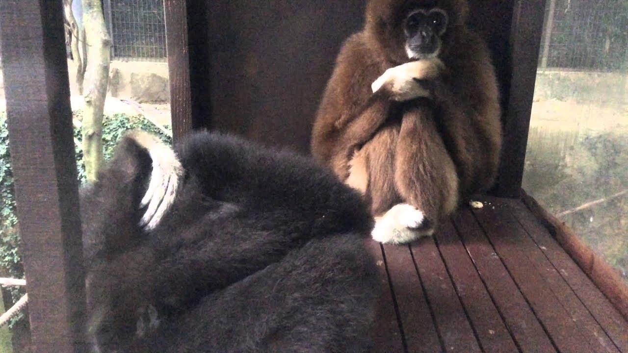 TricksterKANA 上野動物園 シロテテナガザル の ナポとモカ 1976年産まれ -