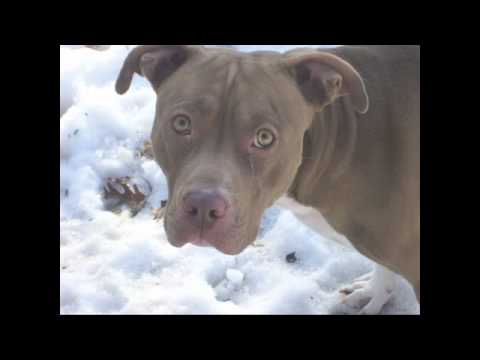 Pit Bull Rescue - New York Bully Crew