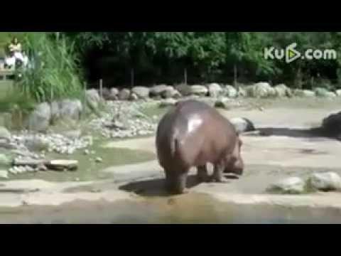 Zabawny Hipopotam.