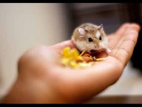 Dwarf Hamster Guide. Dwarf Hamster Guide