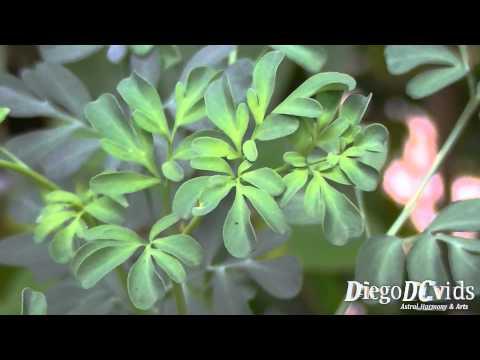 Ruta graveolens - arruda - common rue - herb-of-grace (Rutaceae)
