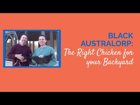Black Australorp The Right Chicken for your Backyard