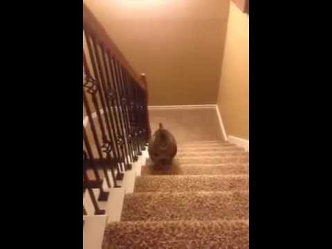 Fat cat runs up the stairs